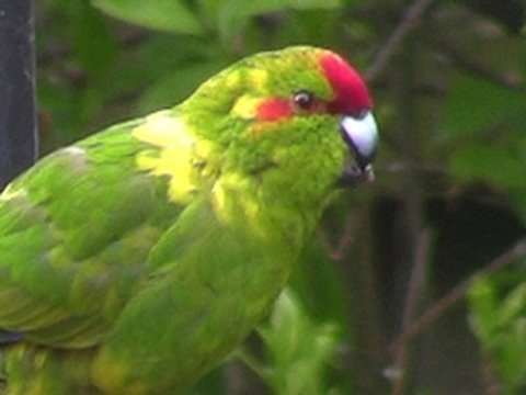 Red Crowned Parakeet –  A LONG WAY FROM HOME !