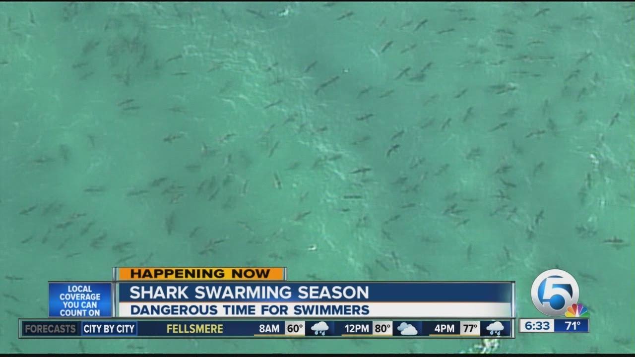 West Palm Beach Beaches >> Sharks Swarm Near Palm Beach Co Beaches