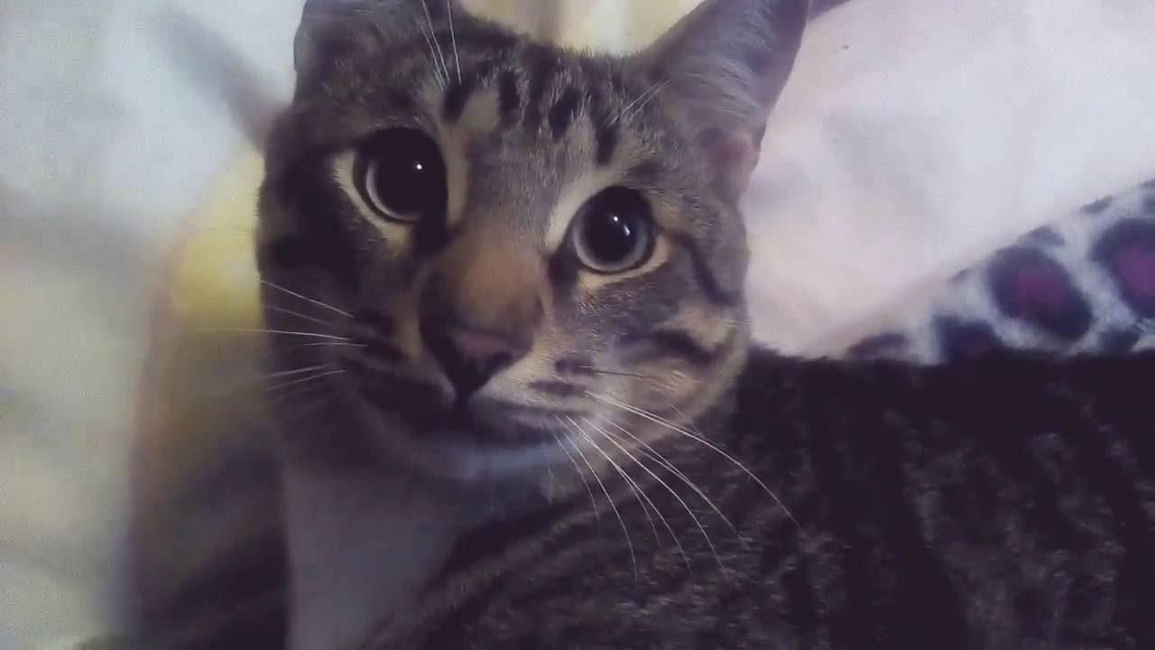 Кастрированный кот нападает