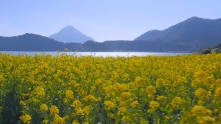 いぶすきの菜の花畑(The Rapeseed Fields of Ibusuki)
