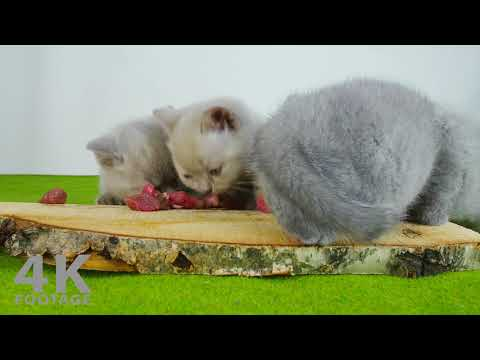 Hungry Kittens eating Raw Meat - 4K Footage