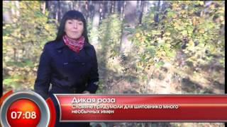 "Дикая роза - ""Утро с Вами"" 29.04.2013"