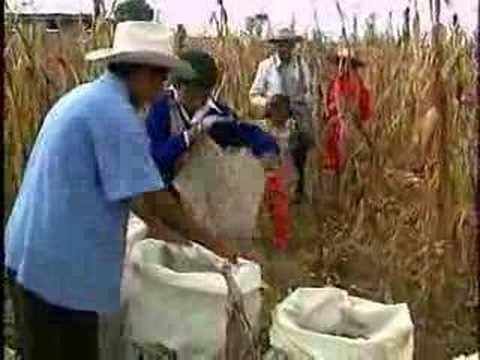 Ventana a mi Comunidad  Mazahuas cosechando y saboreando