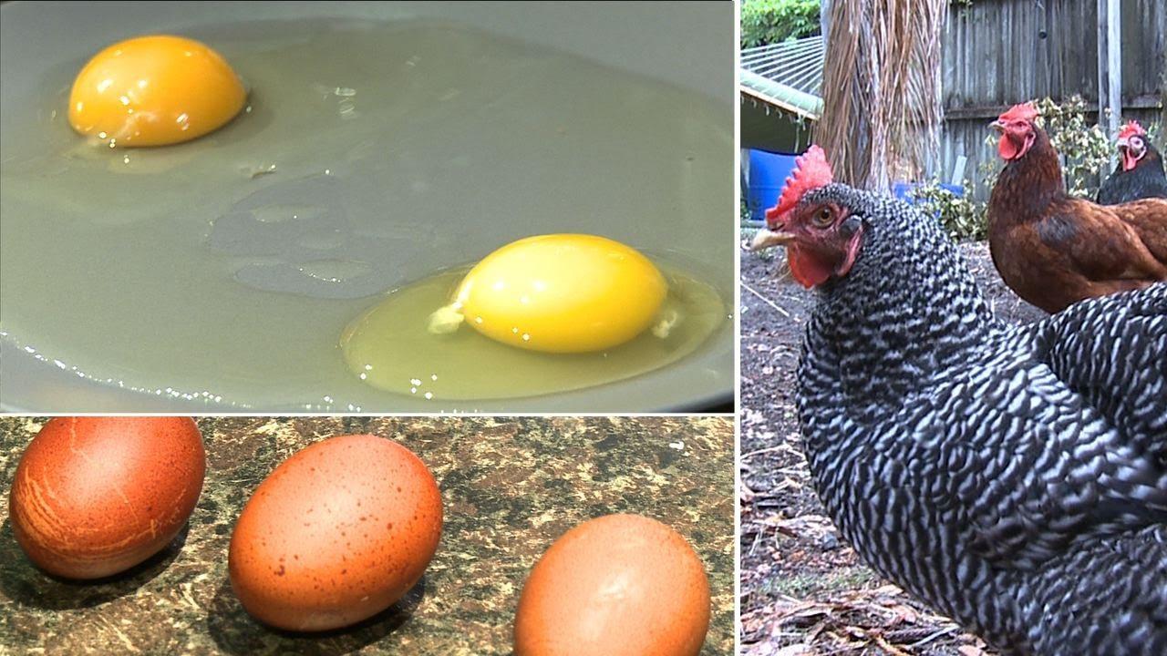 Do eggs from backyard chickens really taste better? - YouTube