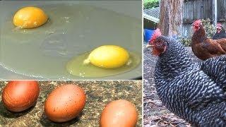 Do eggs from backyard chickens really taste better?