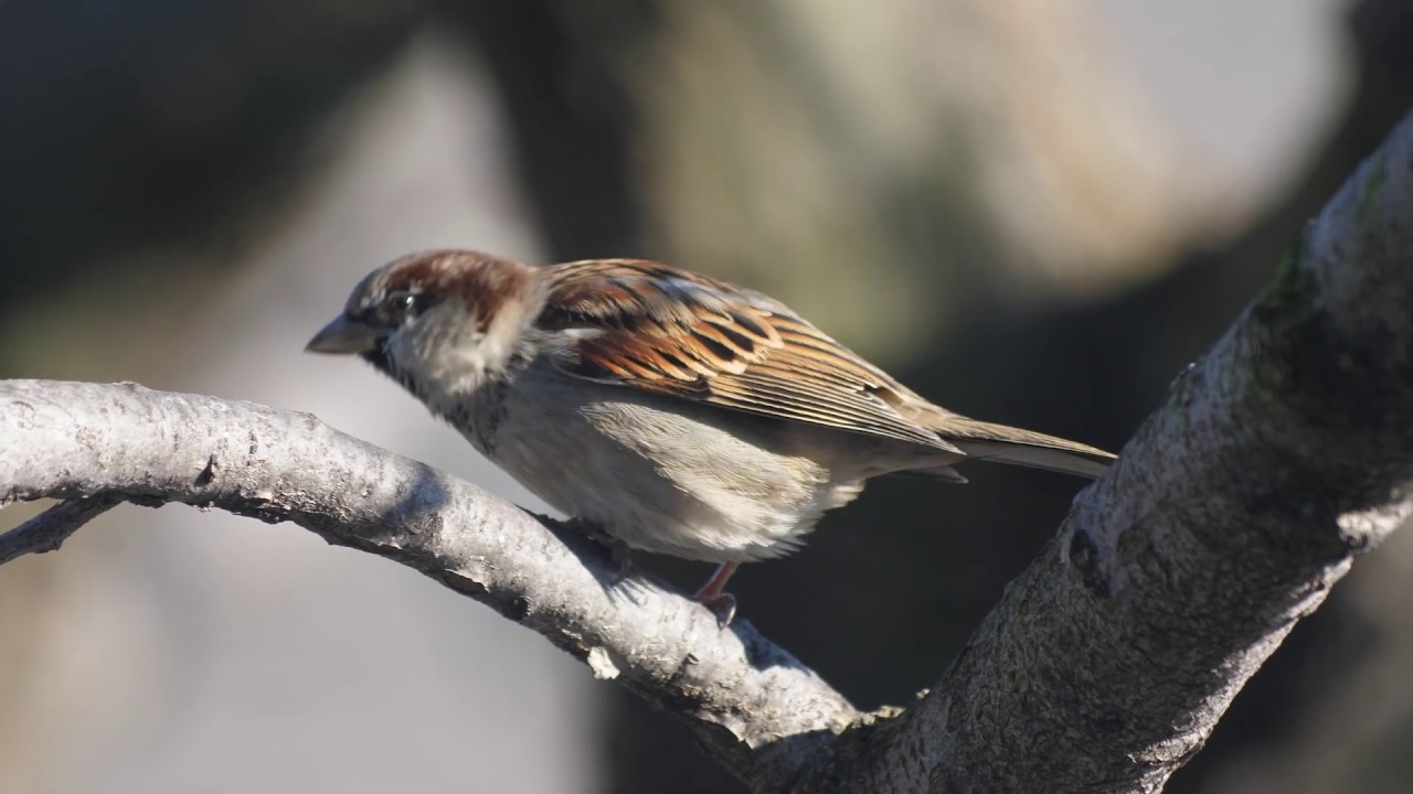 what noise does a sparrow make