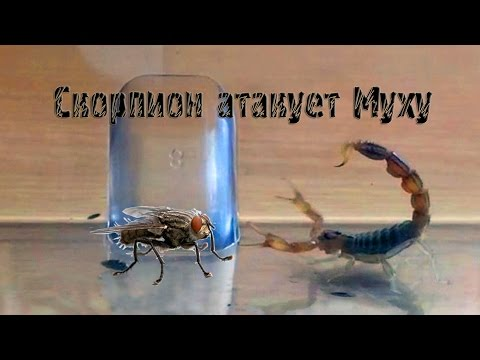 Скорпион атакует Муху. Scorpion fly attack