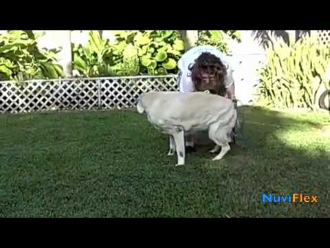 Arthritis in Dogs Amazing Dog! NuviFlex Before and After Video of Cassio