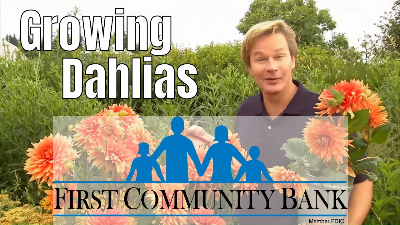 Dahlias Growing Tips Care Youtube