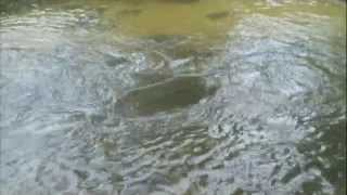 River Salmon Fishing: Salmon Running the Gaunlet