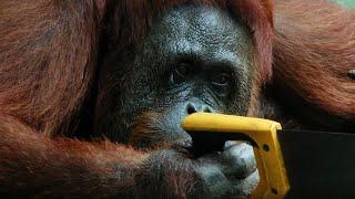 orangutan-saws-branches-for-fun-spy-in-the-wild-bbc-earth