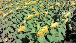 Обзор подсолнечника 52.5см и 70см(налив семян)