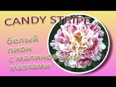 CANDY STRIPE белый пион с малиновыми мазками / Сад Ворошиловой