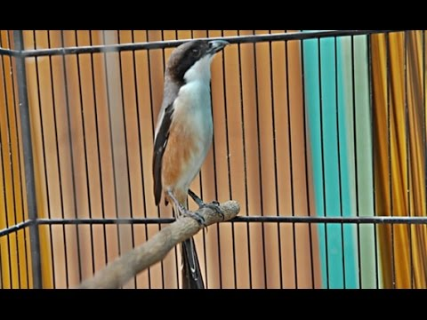 Suara Burung Pentet Gacor Terbaru 2017