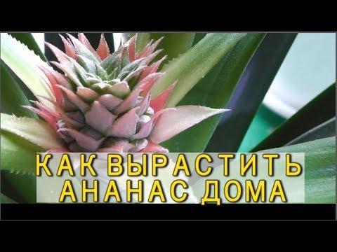 Чтобы АНАНАС зацвел, мы...  у нас дома растут ананасы
