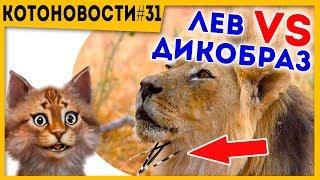 #Котоновости 31 Дикобраз против Льва | Милая зверюга | Почему не нужно ходить в цирк?