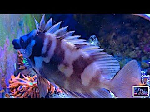 Foxface Rabbitfish/Siganus Vulpinus At Night And Day