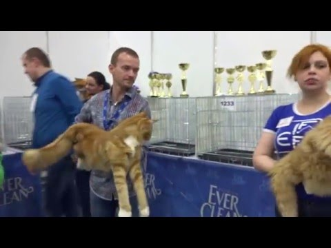 KATSBURG  - CAT SHOW - FIFE -  ADULT MALE - 05.03.2016