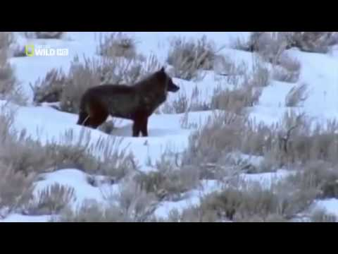 The Lone Wolf of Yellowstone Park - Documentary Films Full Length