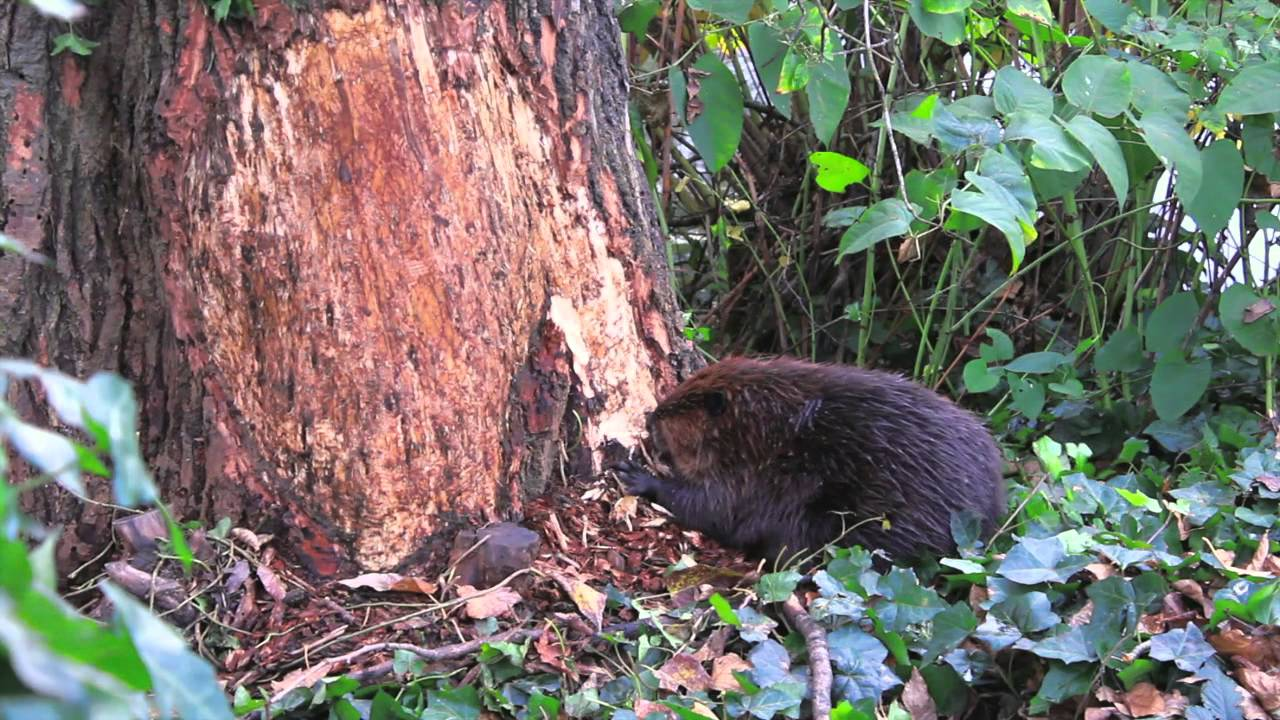 ROUSes (Beaver chewing down a large tree) - YouTube