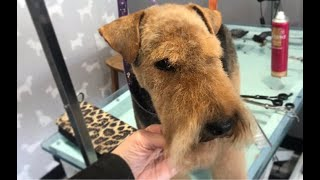 Welsh Terrier Head Dog Grooming