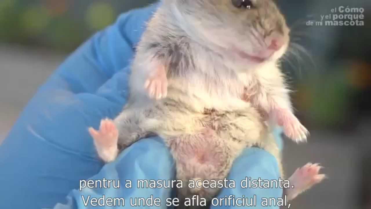 paraziti la hamsteri