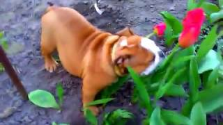 Английский бульдог Марио против тюльпанов