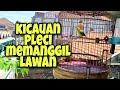 Kicau Pleci Memanggil Lawan Cocok Untuk Memancing Pleci Yang Bisu  Mp3 - Mp4 Download