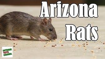 Arizona Rats & Rodents, How To Prevent Them