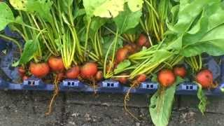 Garden Update! A Quick Beet And Collard Green Harvest! Start Your Fall And Winter Plants Now!