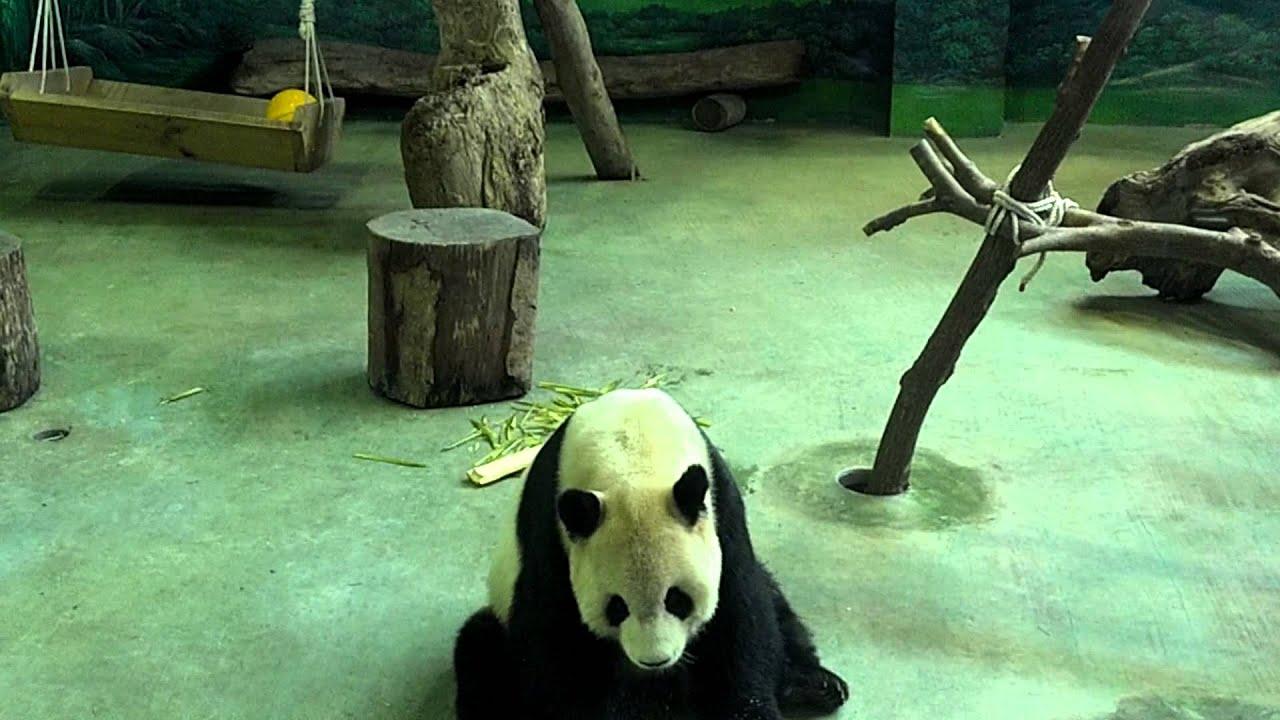 Панда в зоопа�ке Тайпей panda in taipei zoo youtube
