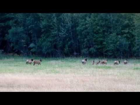 Sayward Roosevelt Elk