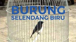 Burung Selendang Biru Juara Gacor