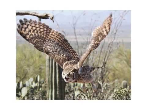North American Owls 10 2