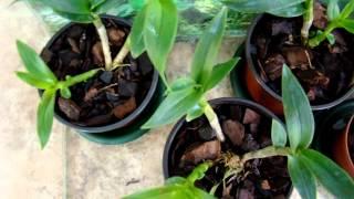 видео Дендробіум старкласс: догляд в домашніх умовах