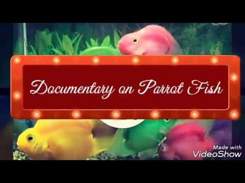 How To Care  Parrot Fish (male Or Female)