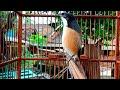 Ngetop Cendet Bakalan Langsung Ikutan Gacor Oleh Suara Cendet Gacor Ini  Mp3 - Mp4 Download