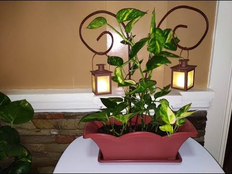 Money plant on a butterfly shaped rod with candle holder - How to decorate a house with no money ...