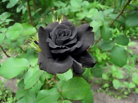 الورد الأسود وردة نادرة تنمو في قرية هالفيتي في تركيا Youtube