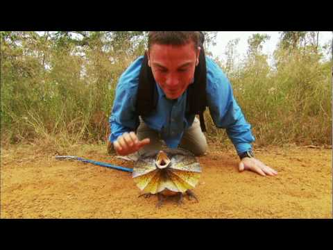 Venom Hunter: Frilled Lizard on the Attack