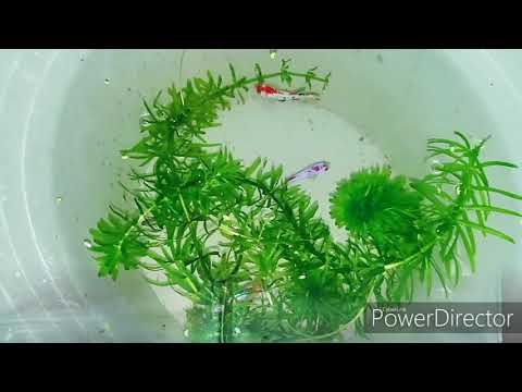 Cara Memelihara Ikan Cupang Dalam Aquarium - Bisabo Channel