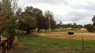 Cows Get Moved to New Pasture