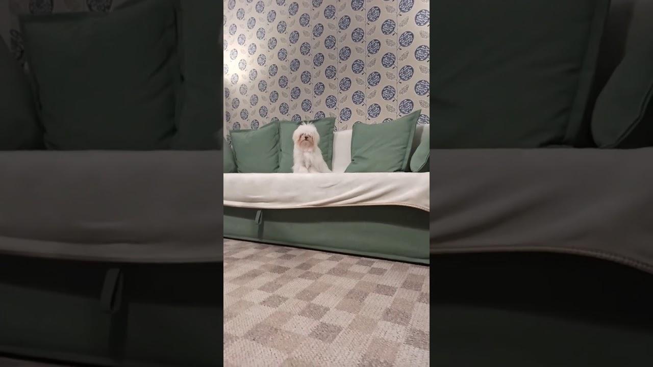 моя собачка прыгает с дивана, но под биты