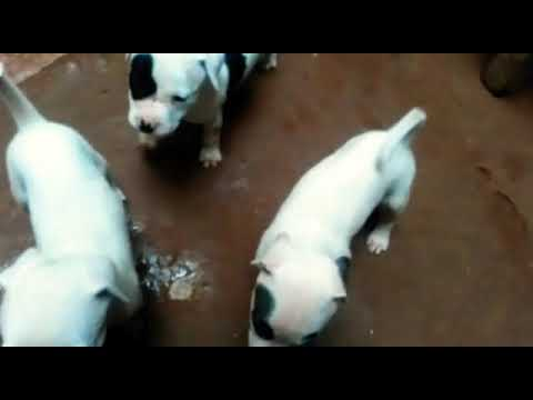 Cute little pitbull puppies for sale 9999039993 in Noida sector, 70 , 71 ,  72 and in Delhi and olx