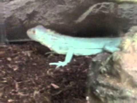 The Aqua Blue Iguana Is Back At Petco