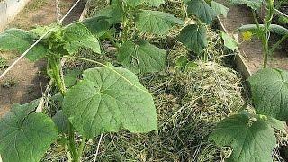 Огород без хлопот Прищипываем огурцы(Огурец – это вьющаяся лиана и ей необходима опора. В открытом грунте, как правило, огурцы выращивают без..., 2015-06-15T06:27:44.000Z)