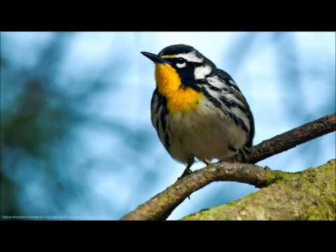 Yellow-throated Warbler Song