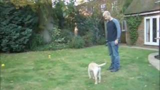 Golden Retriever Puppy  Clicker Training