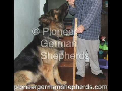 Large German Shepherds - Large German Shepherd breeder in PA