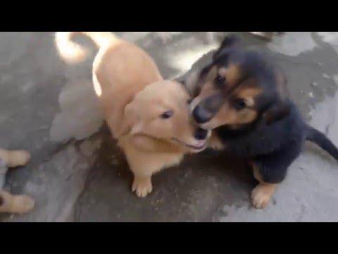 8 week old german shepherd/golden retriever mix puppies are trained? obedient? balanced temperament?